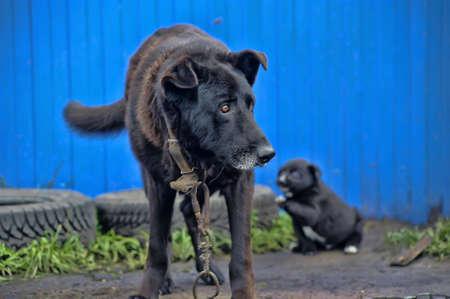 Dog on a chain photo