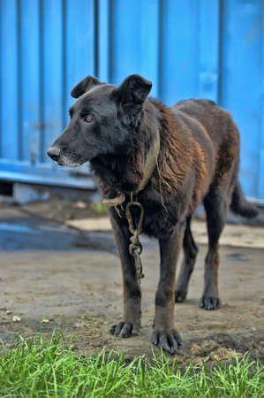pies na łańcuchu Zdjęcie Seryjne - 15465141