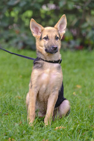 Half-breed shepherd puppy Stock Photo - 15686093