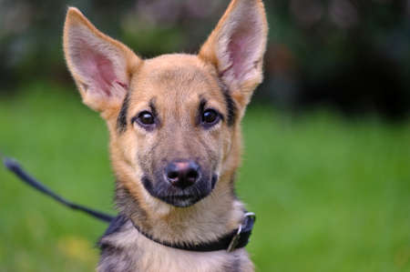 Half-breed shepherd puppy photo