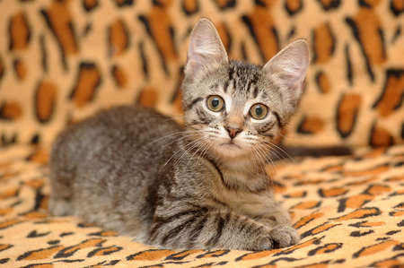 Small tabby Kitten Stock Photo - 15662382
