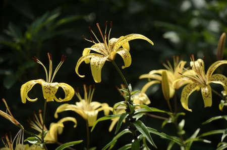 Yellow lilies in a garden  photo