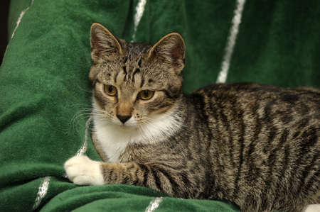 tabby cat with a white breast Stock Photo - 15647864