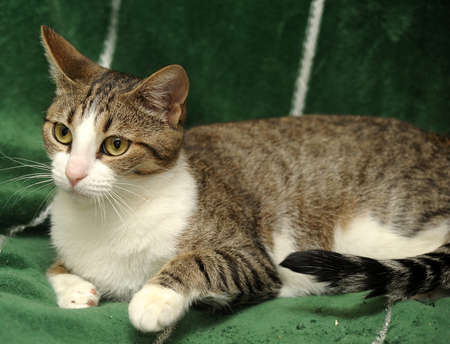 tabby cat with a white breast Stock Photo - 15647838