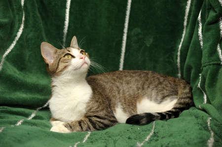 tabby cat Stock Photo - 15647856