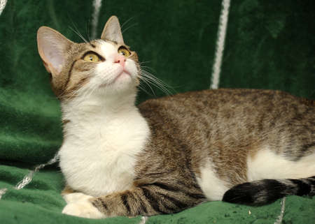 tabby cat with a white breast Stock Photo - 15647842