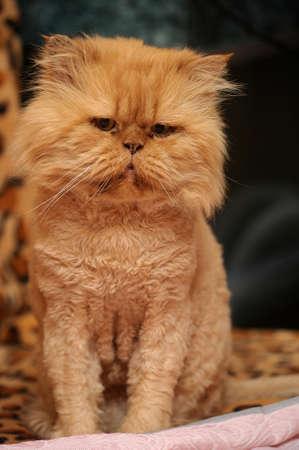 housepet: Persian Cat  Stock Photo