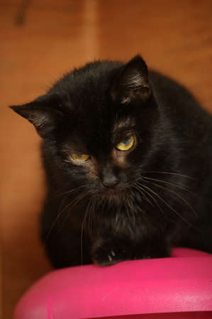 black cat with a white spot on the chest Stock Photo - 16216648