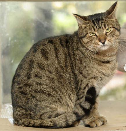 grey tabby: Tabby Cat  Stock Photo
