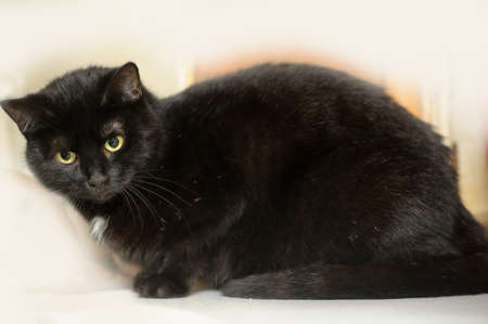 black cat with a white spot on the chest Stock Photo - 16216649