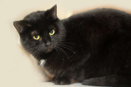 black cat with a white spot on the chest Stock Photo - 16216647