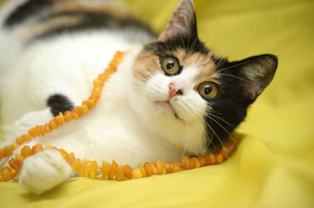 tricolor cat Stock Photo - 15805558