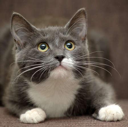 gato gris: gato gris con el gato blanco Foto de archivo