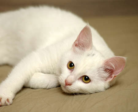 pure breed: White kitten