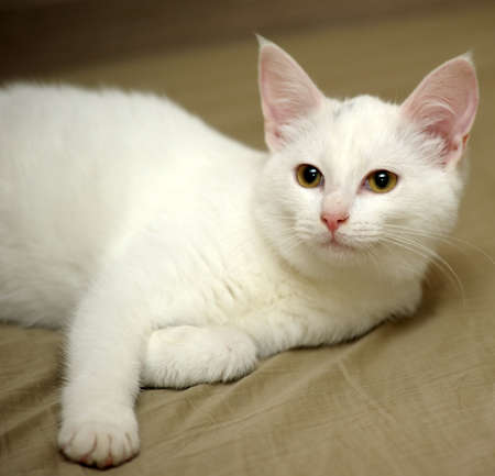 White kitten photo
