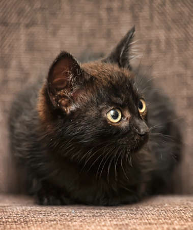 black kitten on the couch Stock Photo - 15800928