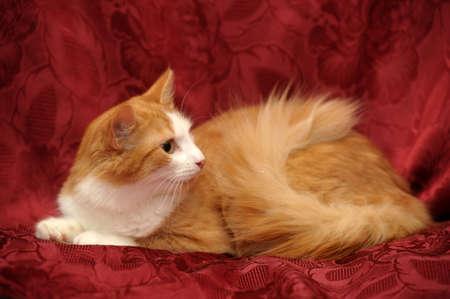 ginger Cat Stock Photo - 15805333