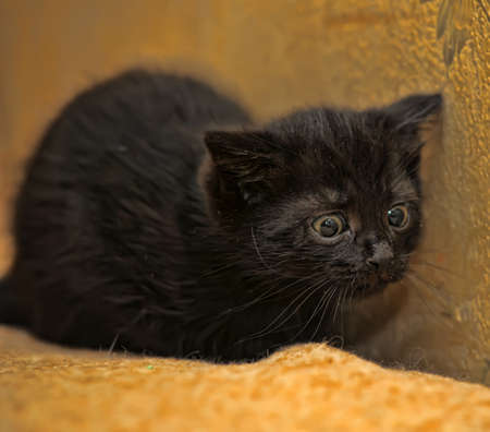 little black kitten hunts Stock Photo - 15809248