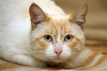Thai cat Stock Photo - 17108059