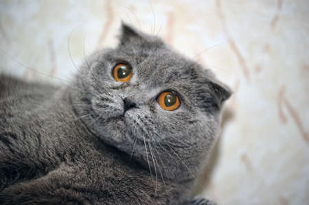 Scottish lop-eared gray cat  Stock Photo - 15920396