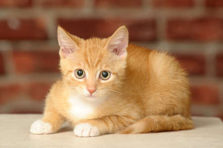 ginger cat: Ginger kitten