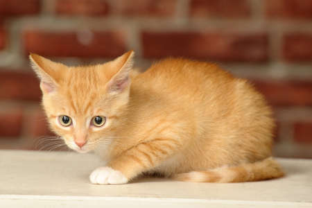 envious: Ginger kitten