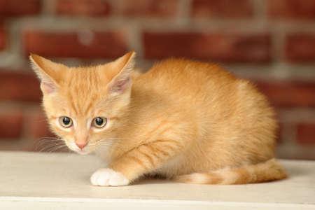 prestar atencion: Jengibre gatito