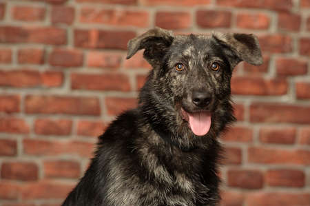 Half-breed dog in front of a brick wall photo