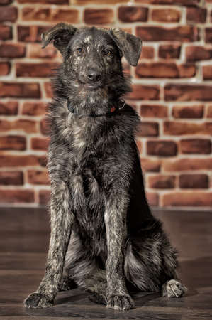 half breed: Half-breed dog in front of a brick wall Stock Photo