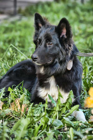 black with white chest mongrel dog Stock Photo - 17167108