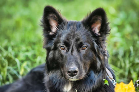 black with white chest mongrel dog Stock Photo - 17167101