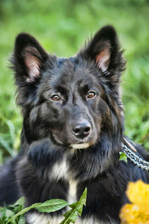 black with white chest mongrel dog Stock Photo - 17167102