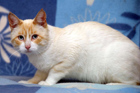 Thai cat with blue eyes Stock Photo - 15975133