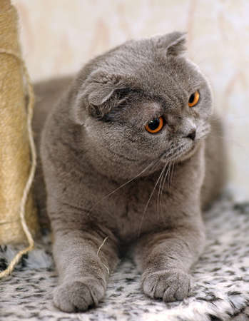 Scottish lop-eared gray cat  photo