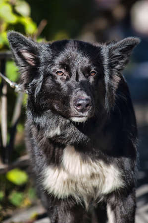 black with white chest mongrel dog Stock Photo - 17167095