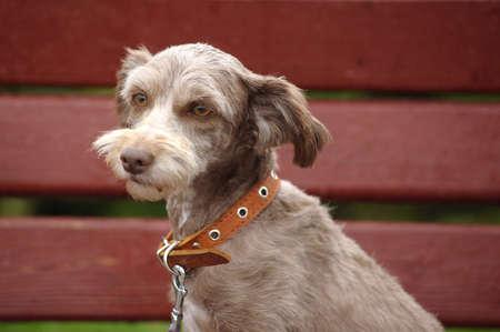 half breed:  terrier Stock Photo