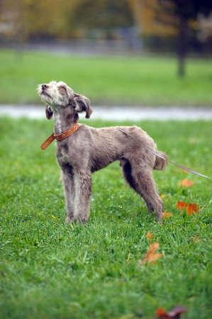 terrier Stock Photo - 15984212