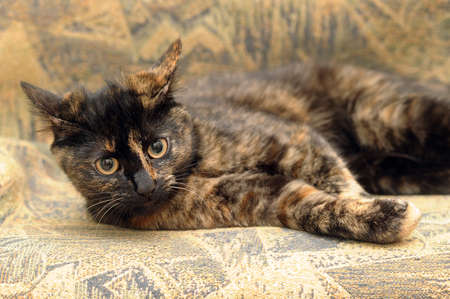 Cat tortie color  photo