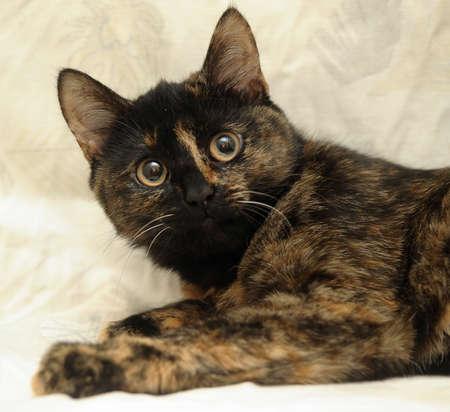 Cat tortie color Stock Photo - 16034600
