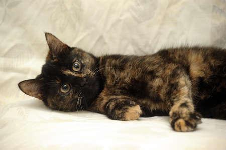 Cat tortie color Stock Photo - 16034599