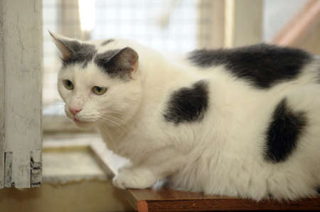 white cat with black spots photo