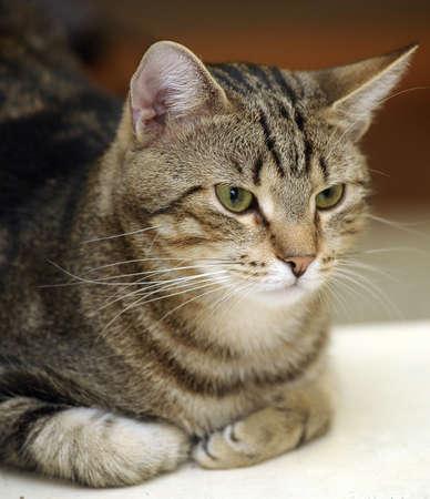 gray cat: Beautiful tabby kitty cat resting
