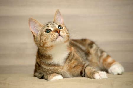 tricolor striped cat Stock Photo