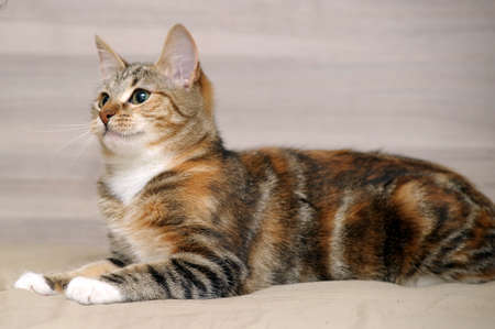 tricolor striped cat photo