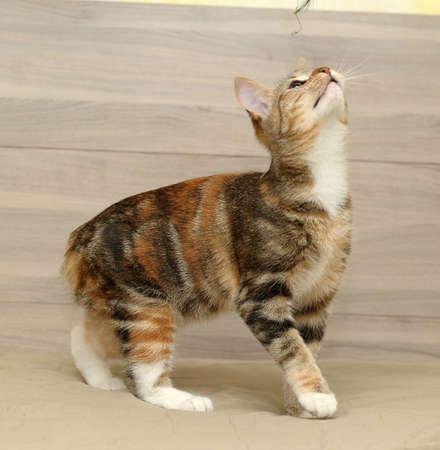 gray cat: tricolor striped cat Stock Photo