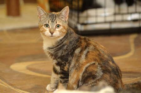 tricolor striped cat photo
