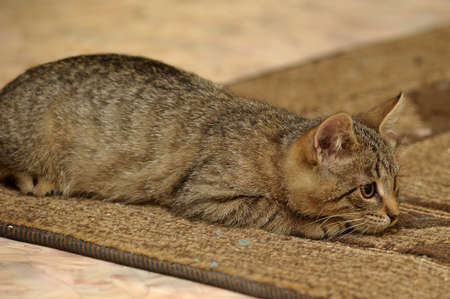 tabby kitten resting on carpet photo