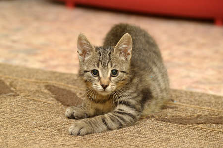 tabby kitten playing in the house photo
