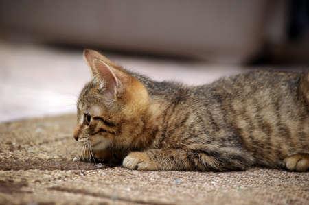 gray tabby kitten Stock Photo - 16220653