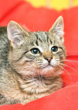 gray tabby kitten Stock Photo - 16220613